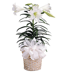 Easter Lillies from Clifford's where roses are our specialty