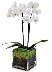 Twin Orchid Plant from Clifford's where roses are our specialty