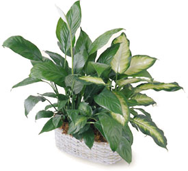 FTD Spathiphyllum and Dieffenbachia from Clifford's where roses are our specialty