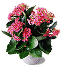 FTD Pink Kalanchoe from Clifford's where roses are our specialty