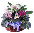 FTD African Violets from Clifford's where roses are our specialty