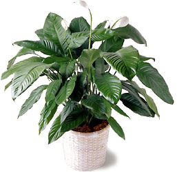 Spathiphyllum from Clifford's where roses are our specialty