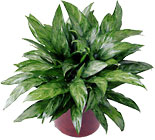 FTD Chinese Evergreen from Clifford's where roses are our specialty