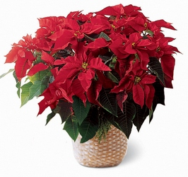 Red Poinsettia Basket from Clifford's where roses are our specialty