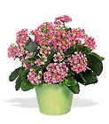 Pink Kalanchoe from Clifford's where roses are our specialty