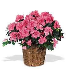 Pink Azalea from Clifford's where roses are our specialty