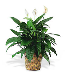 Large Spathiphyllum Plant from Clifford's where roses are our specialty