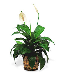 Small Spathiphyllum Plant from Clifford's where roses are our specialty