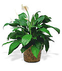 Medium Spathiphyllum Plant from Clifford's where roses are our specialty
