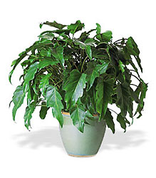 Xanadu Philodendron from Clifford's where roses are our specialty