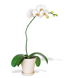 White Phalaenopsis Orchid from Clifford's where roses are our specialty